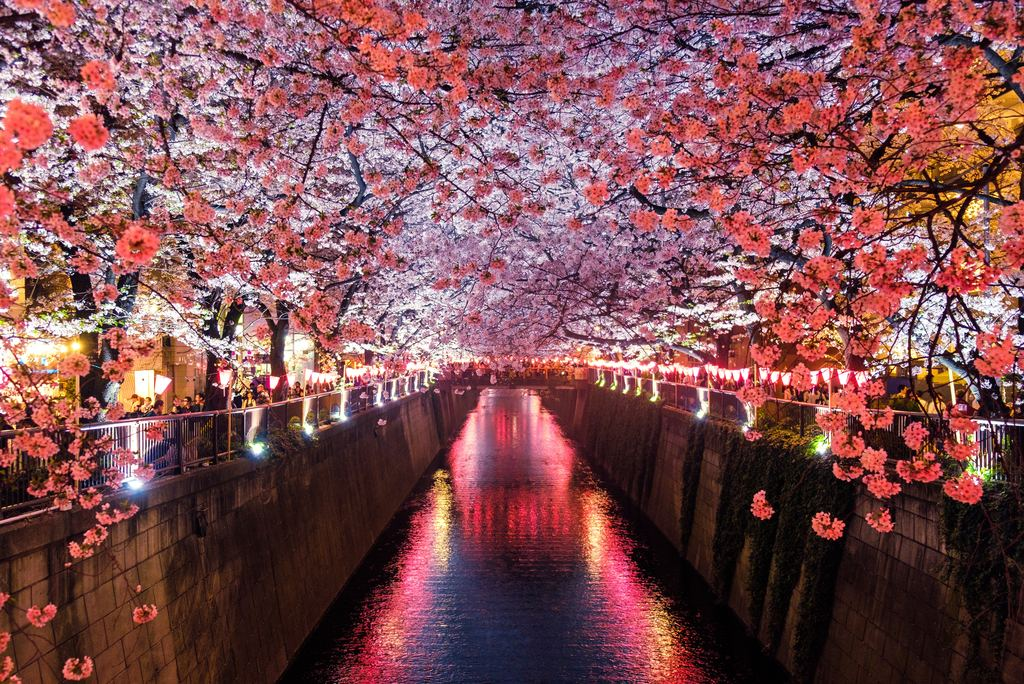 Cherry Blossoms Canal